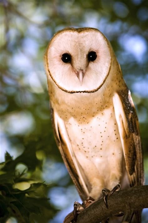owl species owl facts  information