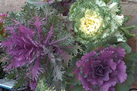 decorative cabbage and kale ornamental kale and cabbage sperling nursery gift shop