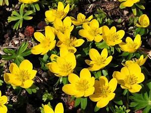 Blumen Im Winter : winterblumen die winterblume ~ Eleganceandgraceweddings.com Haus und Dekorationen