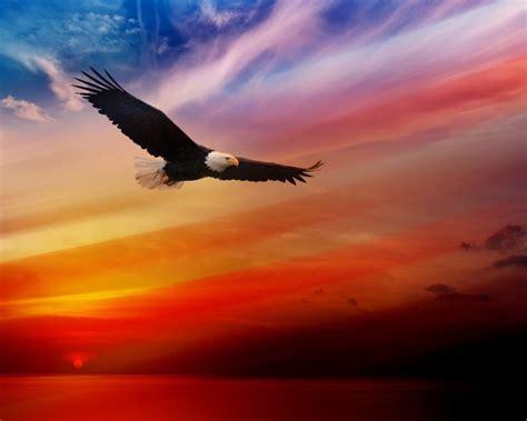 Bald Eagle Flying At Sunset Red Sky Desktop Hd Wallpaper