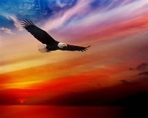 bald eagle flying at sunset sky desktop hd wallpaper