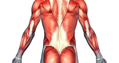 The back is found posteriorly and includes the vertebral column, the muscles that support the back despite having functionally different roles, the basic anatomy of each vertebra is very comparable. Back Muscle Strain - Symptoms, Causes and Treatment