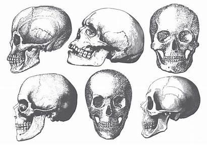 Skull Vector Shapes Brushes Tattoo Photoshop Brush