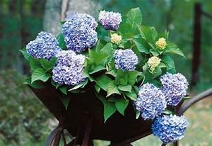 Hortensie Endless Summer Standort : hortensie endless summer blau online kaufen otto ~ Lizthompson.info Haus und Dekorationen