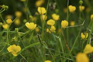 Buttercup Weed Information ? Tips For Controlling ...