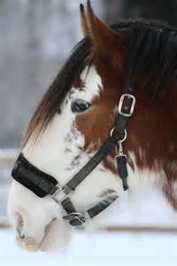 Clydesdales Horses Pretty Face