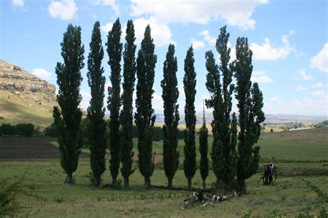 Lombardi Poplars Free Stock Photo - Public Domain Pictures
