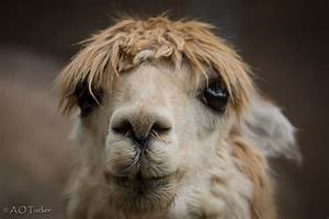 Llama With Down Syndrome