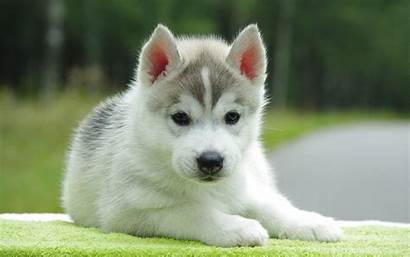 Huskies Puppies Wallpapers Phone Puppy Mobile Adorable