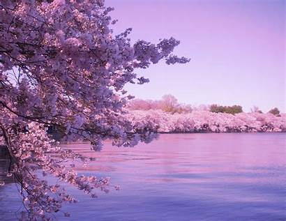 Blossom Cherry Desktop Wallpapers Computer Blossoms Background