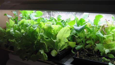 Growing A Winter Indoor Salad Garden