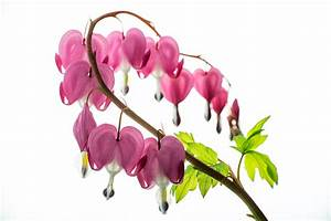 Tränendes Herz Blume : tr nendes herz herzblume foto bild pflanzen pilze flechten bl ten kleinpflanzen ~ Eleganceandgraceweddings.com Haus und Dekorationen