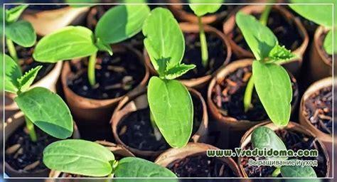 Gurķu audzēšana no A līdz Z - stādīšana un kopšana (foto ...
