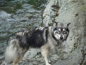 Alaskan Timber Wolf Husky Mix