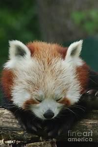 Sleepy Red Panda Photograph by Rawshutterbug