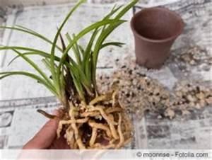 Luftwurzeln Bei Orchideen : pflanzen f r das schlafzimmer welche zimmerpflanzen eignen sich ~ Frokenaadalensverden.com Haus und Dekorationen