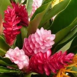 Pink Tropical Ginger Flower Plant