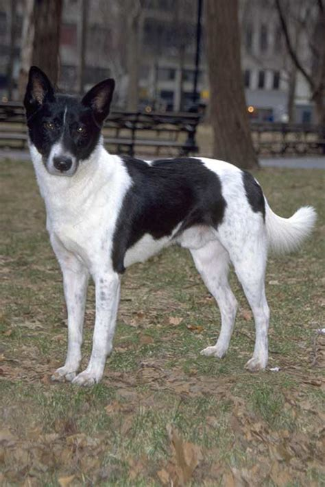 canaan dog dog breed information