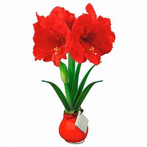 Amaryllis In Wachs : amaryllis wax rot von g rtner p tschke ~ Lizthompson.info Haus und Dekorationen
