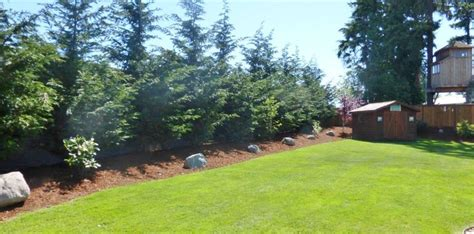 Pine Trees For Backyard Landscaping
