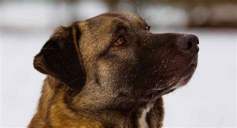 anatolian shepherd breed dog giant pet guard long