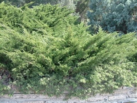 juniperus chinensis sea green