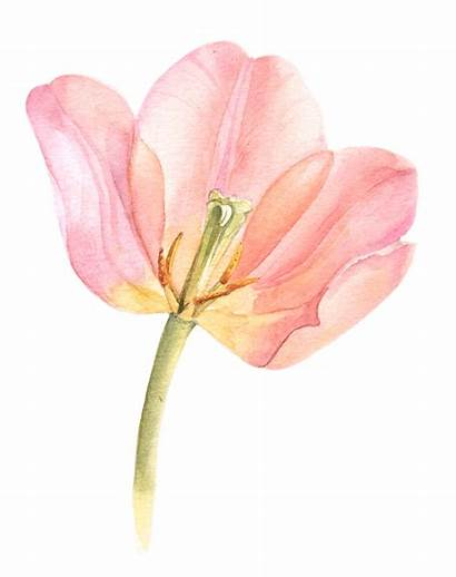 Watercolor Painting Tulips Behance Tulip Paintings Flowers