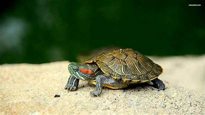 Turtle Wallpapers Turtles Backgrounds Slider Eared Sea