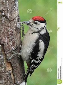 A Baby Great Spotted Woodpecker Dendrocopos Major. Royalty ...