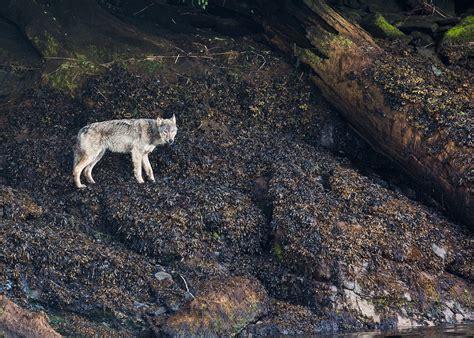 pat roque photography coastal wolves  pat roque