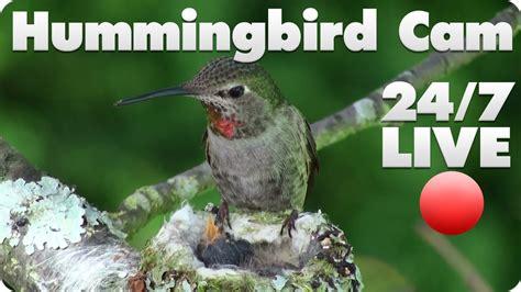 hummingbird live cam 1 youtube