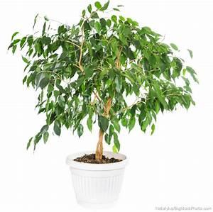 Ficus Benjamini Vermehren : weeping fig ficus benjamina my house plants ~ Lizthompson.info Haus und Dekorationen