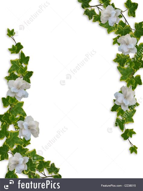 illustration  floral border ivy  gardenias