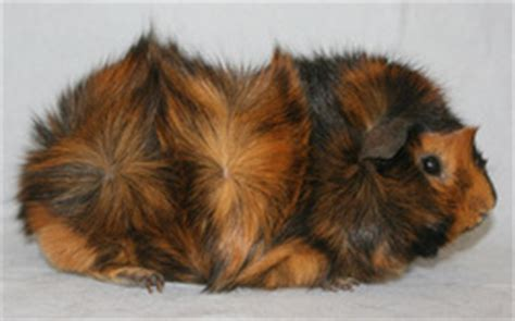 breeds guinea pig website
