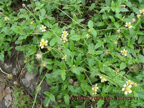 tanaman obat herbal ajeran bermanfaat obat herbal