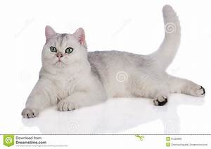 Adorable British Shorthair Kitten On White Stock Photo ...