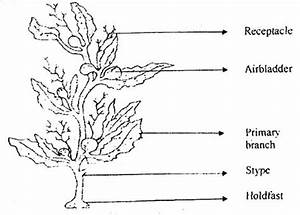 The Structure and Habitat of Sargassum - QS Study