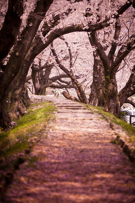 japan landscape cherry blossom vertical  aichi cv