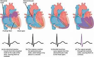 Mammalian Heart And Blood Vessels