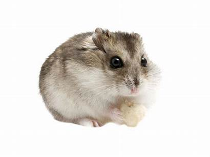 Hamster Campbell Comportement