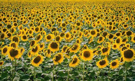 hoe de zonnebloem tot stilstand komt nrc