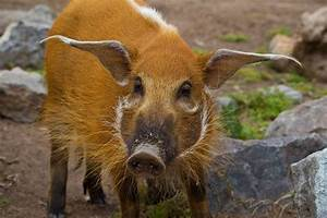 36 best I love red river hogs images on Pinterest | Animal ...