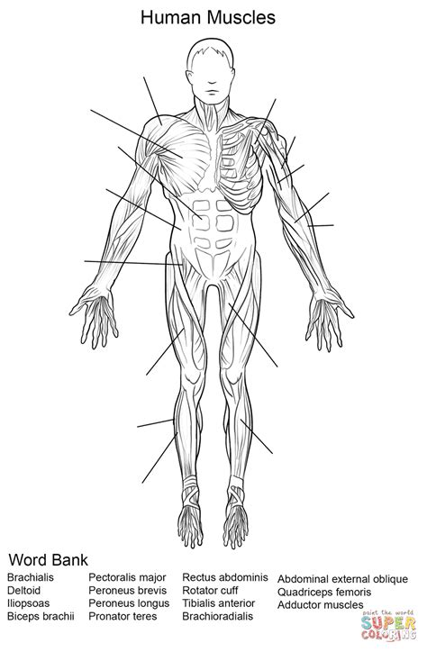 Human Muscles Front View Worksheet Coloring Page  Free Printable Coloring Pages