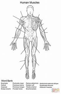 Human Muscles Front View Worksheet Coloring Page