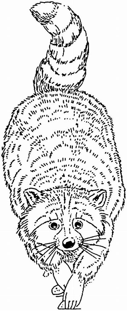 Raccoon Coloring Pages Racoon Raccoons Animals Printable