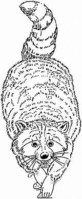Coloring Raccoon Pages Racoon Raccoons Animals Printable Face Adult Printables Cartoons Supercoloring sketch template