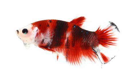 betta fish sleep    find