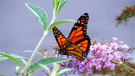 Hd Butterfly Wallpapers Image Full