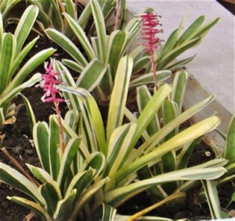 ciri ciri  manfaat tanaman hias lili paris