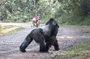 Disease and Trauma in Gorillas - Gorilla Doctors Gorilla ...